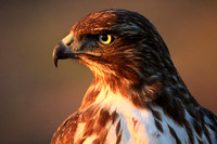 Portrait of a Red-tailed Hawk