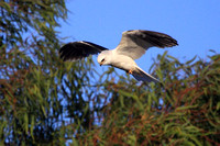 White-tailed Kite searching for prey