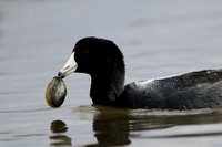 Coot with clam