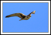 Prairie Falcon - not a good shot, just for the record.