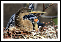 Anhinga in nest with baby