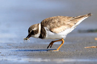 Semipalmated Plover with Crab