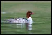 Common Merganser (f)