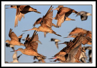Godwits Take Flight