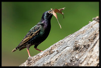 European Starling With Nesting Material