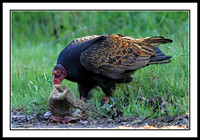 Turkey Vulture eating squirrel