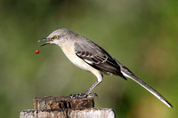 Mockingbird eating berry
