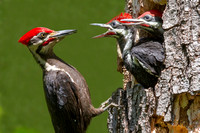 Mar - Pileated Woodpeckers