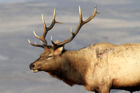 Bull Elk with blood from gash