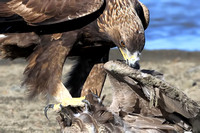 Golden Eagle dining on a goose