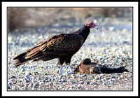 Turkey Vulture dines on skunk