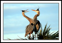 Great Blue Heron partners