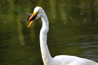Great Egret eating a Moorhen