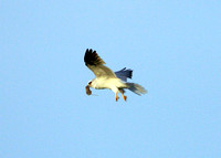 White-tailed Kite with prey (6 of 6)