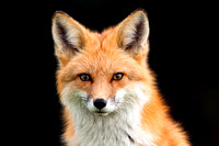 Jan - Red Fox