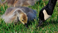 Canada Geese - parent with young