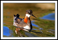 Red-necked Phalarope riding a wave