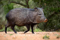 Jul - Collared Peccary