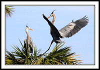 Great Blue Heron returns to nest